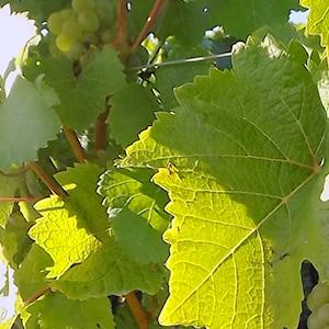 Feuilles de vignes, Domaine Olivier Carême Vouvray