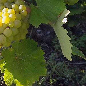 Grappes de raisin des vignes Olivier Carême